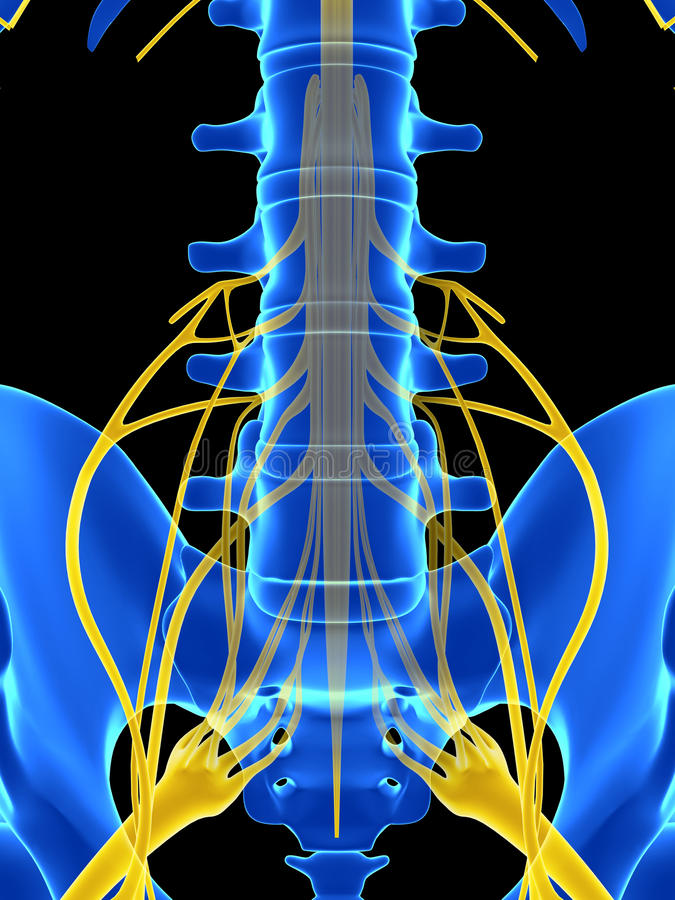 Spinal cord stock illustration