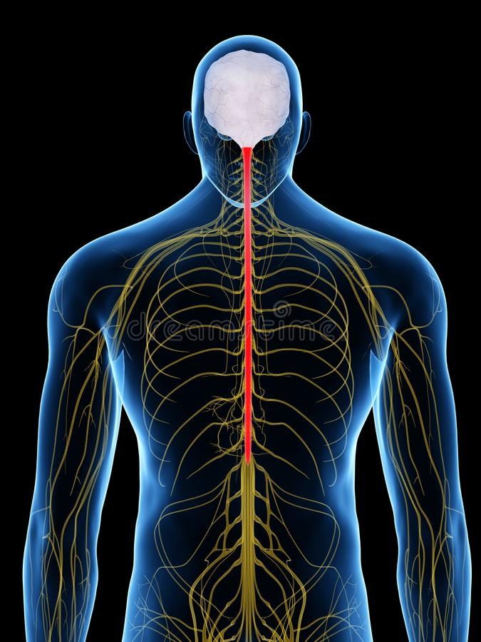 The spinal cord vector illustration