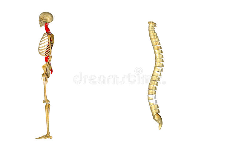 Spinal cord. The spinal cord is a long, thin, tubular bundle of nervous tissue and support cells that extends from the brain (the medulla oblongata specifically vector illustration