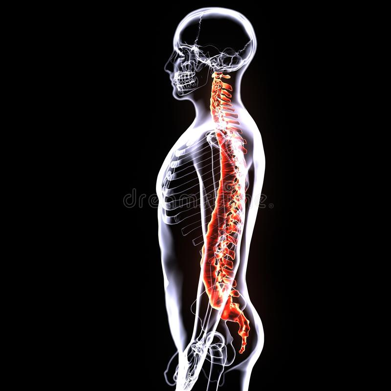 3d illustrarion human body spinal cord of a human body parts stock illustration