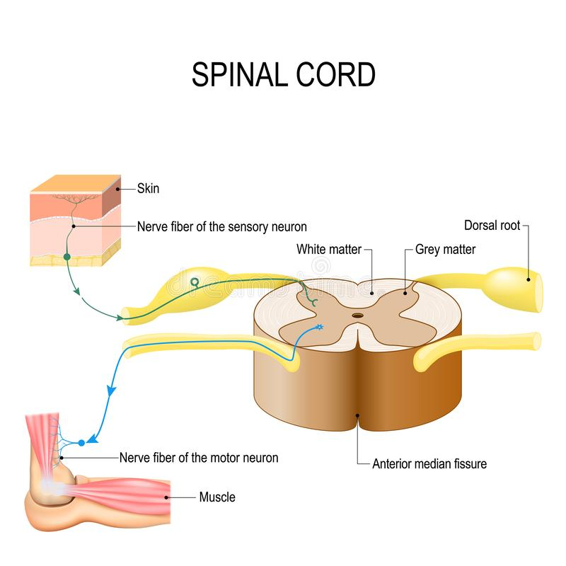 Spinal cord. Reflex arc neural pathway. Vector illustration for biological, medical, education and science use vector illustration