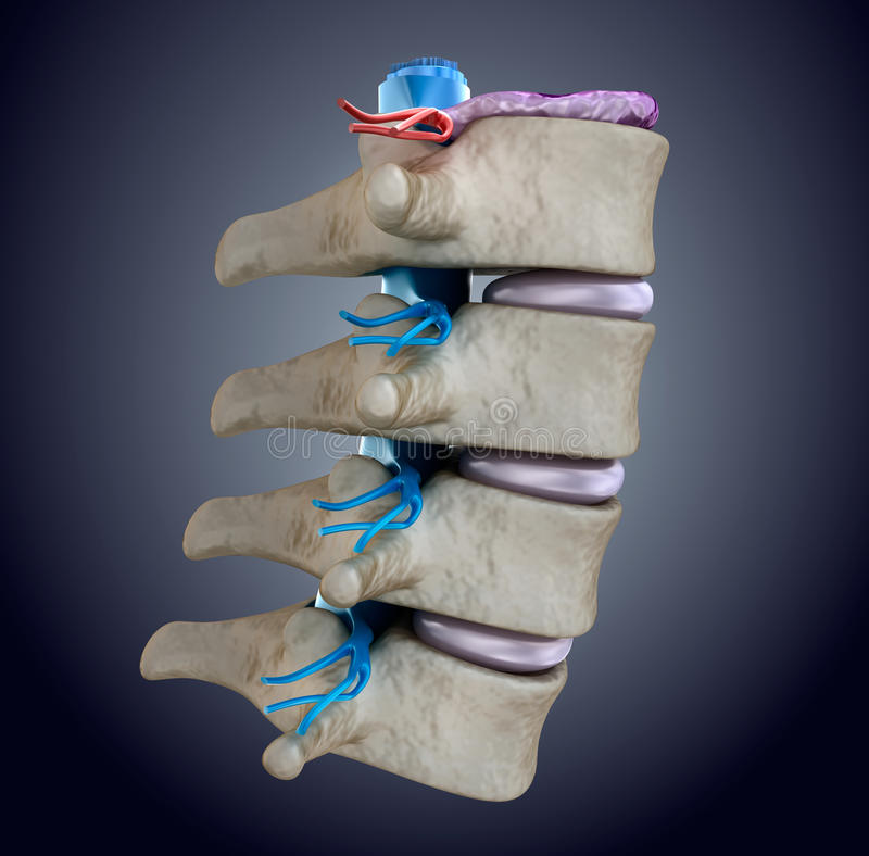 Spinal cord under pressure of bulging disc royalty free illustration