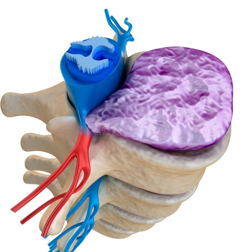 Spinal cord under pressure of bulging disc stock illustration