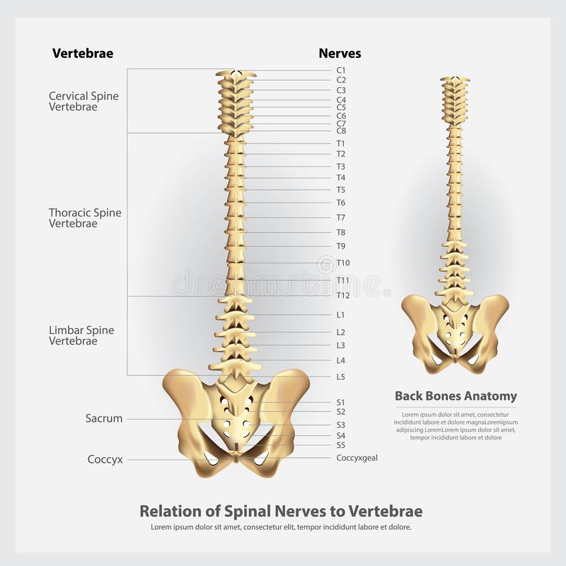 Spinal Nerves And Vertebrae Segments And Roots Stock Vector ...
