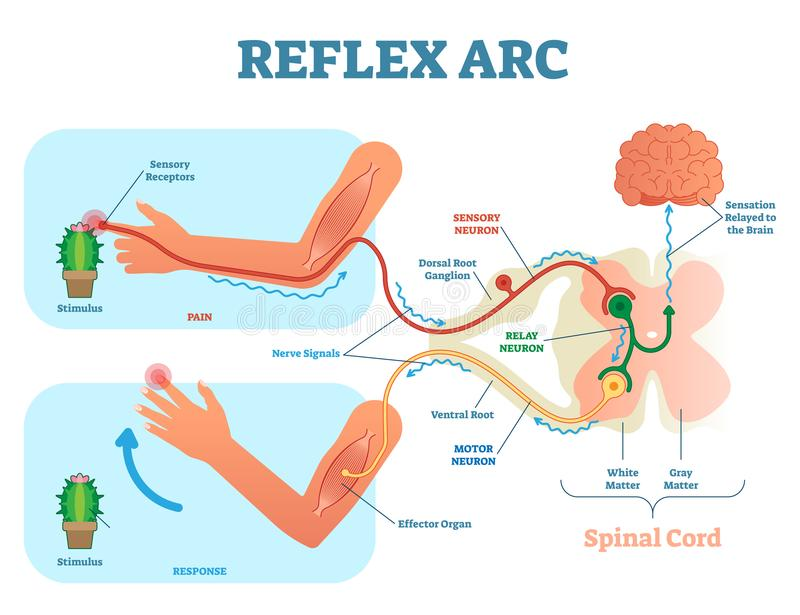 Spinal Reflex Arc anatomical scheme, vector illustration, with stimulus, sensory neuron, motor neuron and muscle tissue. vector illustration