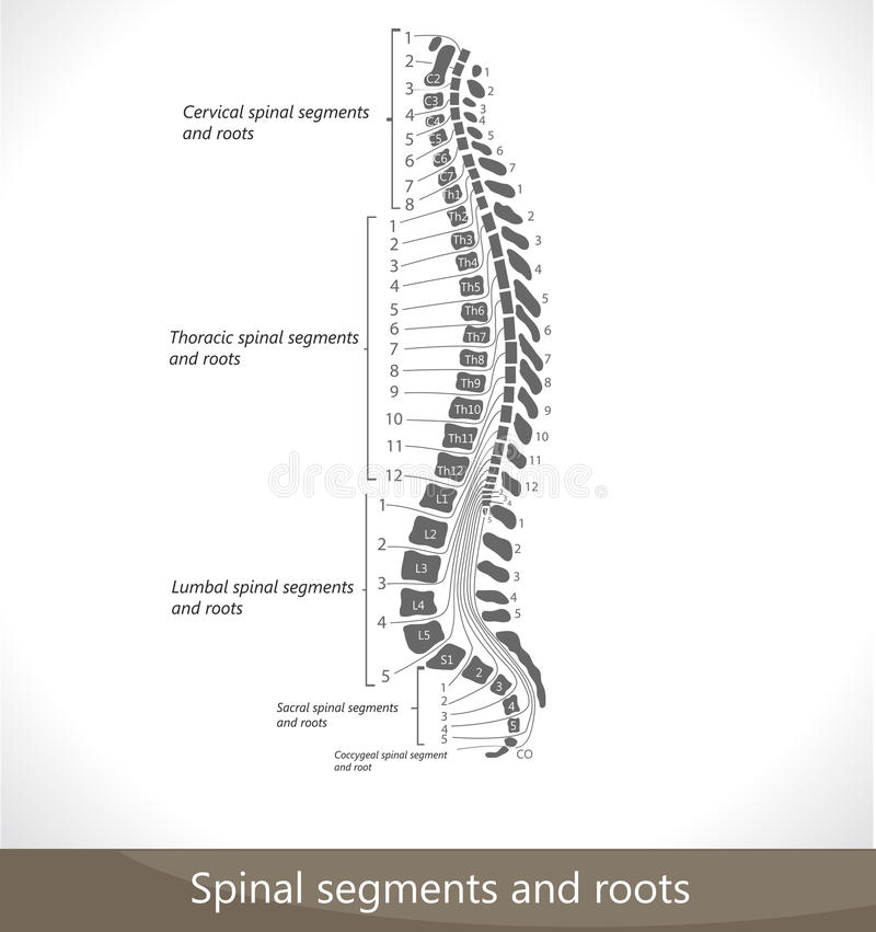 Free Spinal Segments And Roots Royalty Free Stock Photo - 20056865