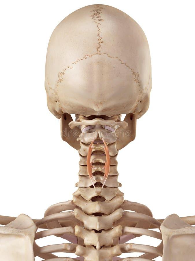 spinalis cervicis 向量例证