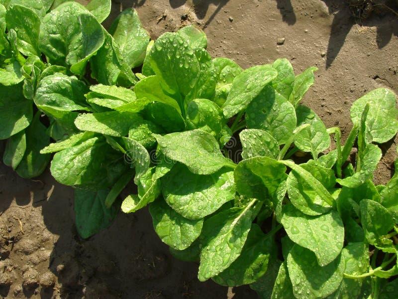 Spinat mit Wassertropfen lizenzfreie stockfotos