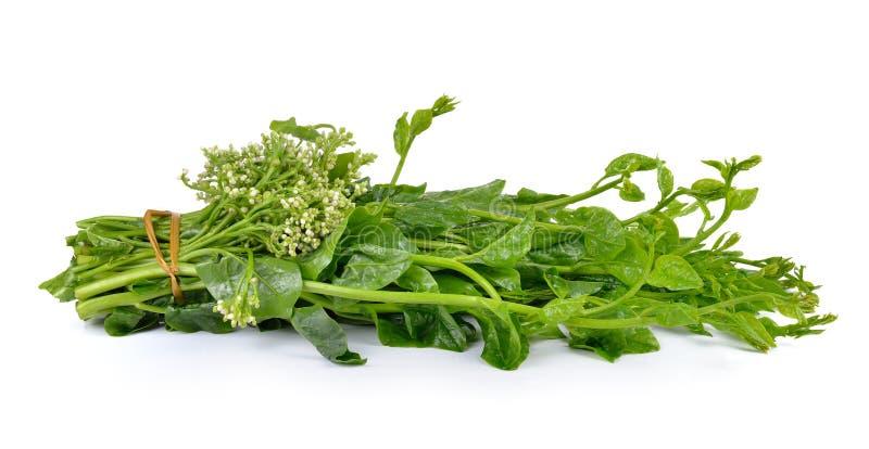 Spinat oder Indische Spinate Malabar lokalisiert auf weißem Hintergrund lizenzfreie stockfotos