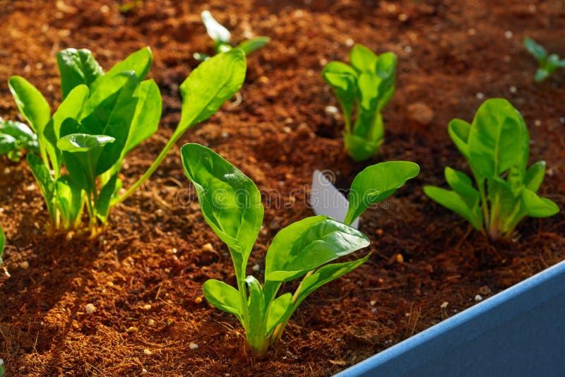Spinats- und Mangoldgemüsesämlinge in einem Obstgarten stockfotos