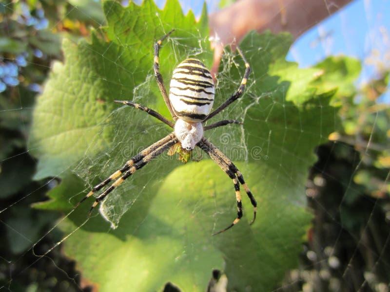 Spindel arkivbilder