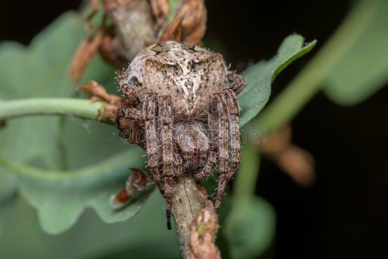 Spindel - Araneus Angulatus royaltyfri foto