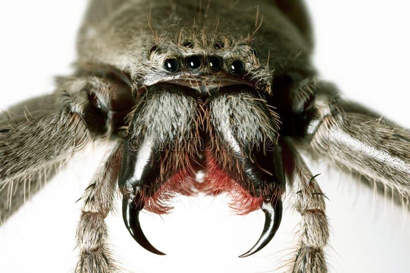 spindel för holconiahuntsmanimmanis royaltyfria bilder