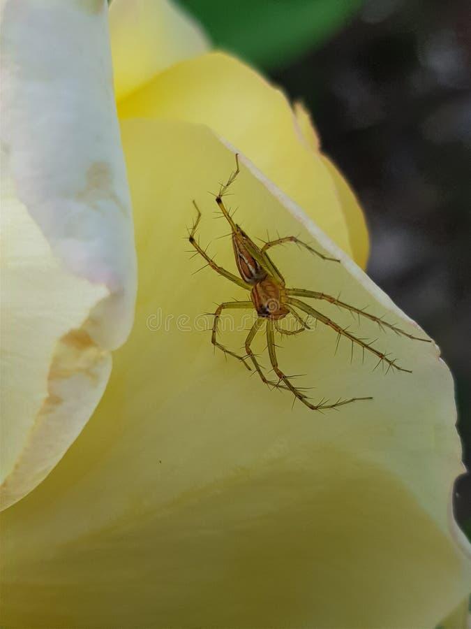 Spindel i gul blomma fotografering för bildbyråer