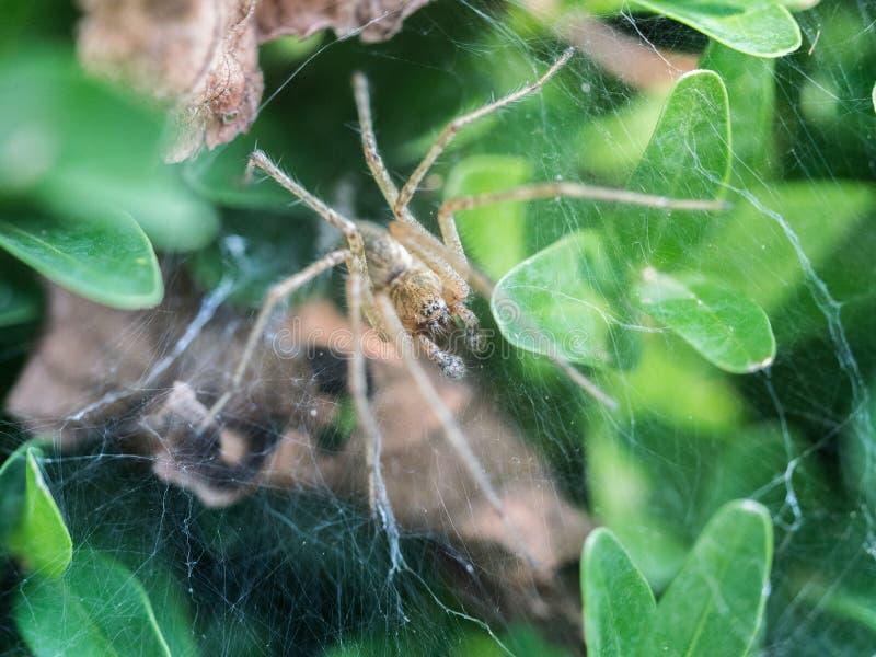 Spindel i hans rengöringsdukrede royaltyfria bilder