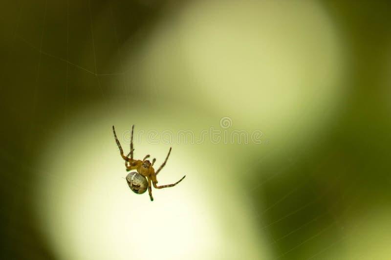 Spindel i ljuset royaltyfri fotografi