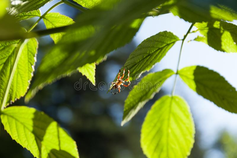 Spindel i sidor, makro Djur spindeldjur royaltyfri bild