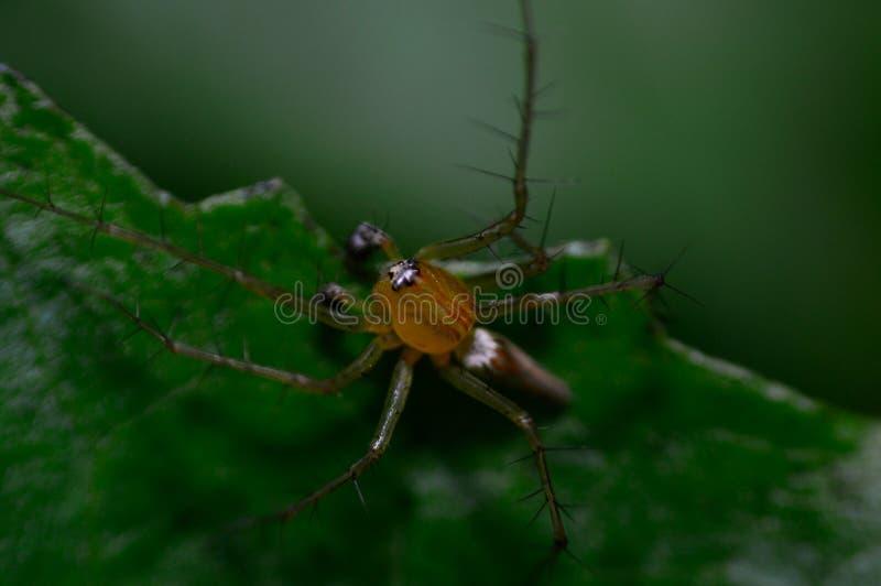 Spindel i växtmakro arkivbilder