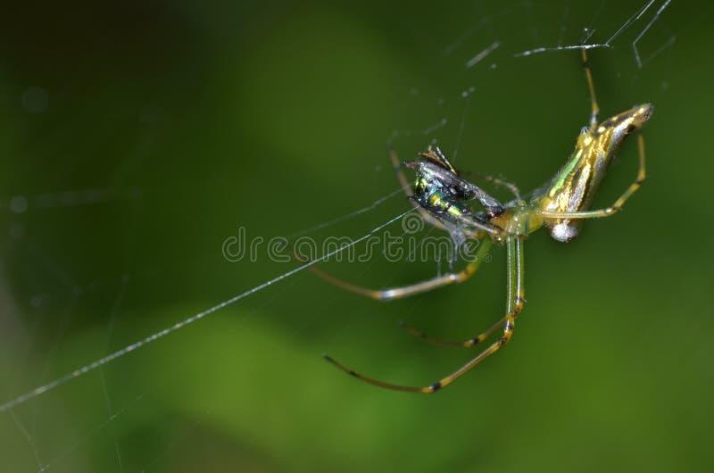 Spindel med dess rov på en spindelrengöringsduk eller spindelnät royaltyfria foton