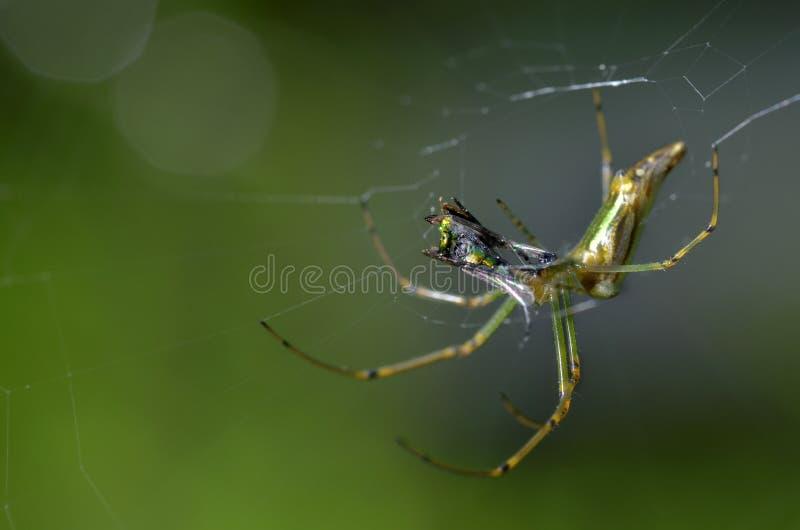 Spindel med dess rov på en spindelrengöringsduk eller spindelnät arkivbild
