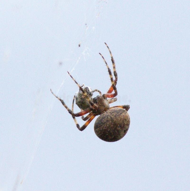 Spindel med hans mål royaltyfri bild