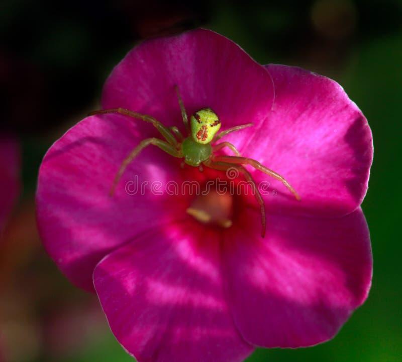 Spindel på blomma royaltyfri fotografi