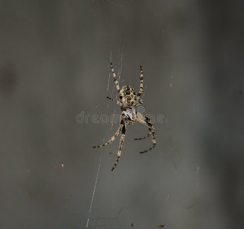 Spindel på grå bakgrund royaltyfri foto