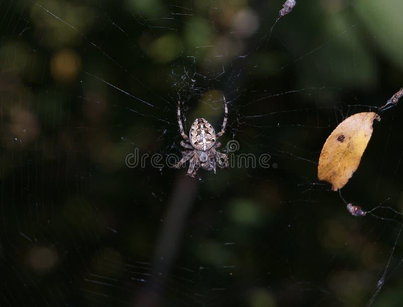 Spindel på rengöringsduken royaltyfria foton
