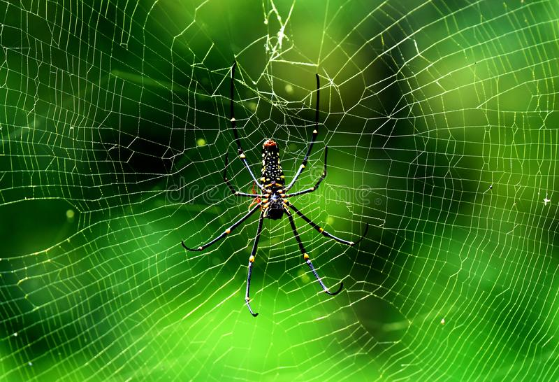 Spindel på trädöverkanten i thekkady skog, royaltyfri foto