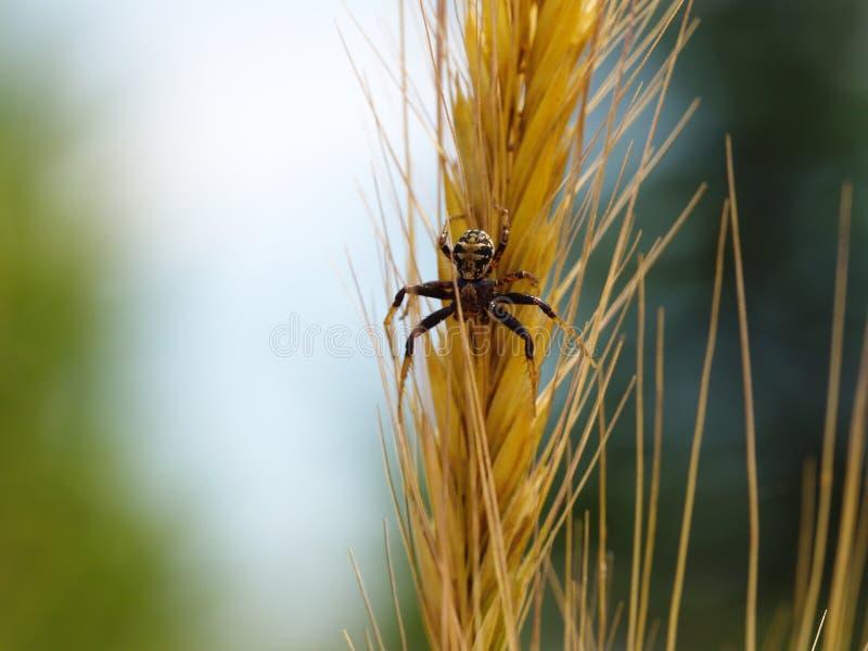 Spindel på vetegrov spik royaltyfri bild
