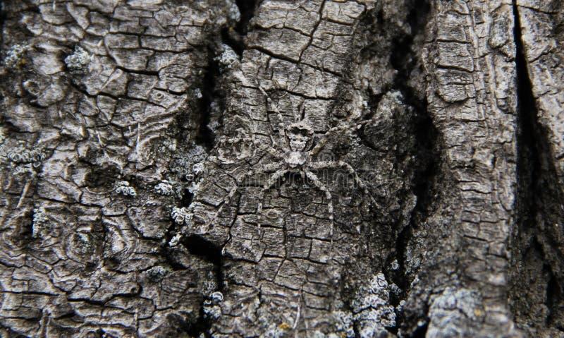 Spindel som döljer i ett träd royaltyfria foton