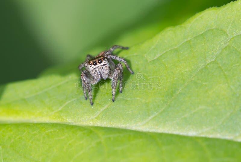 Spindel-springare arkivbild