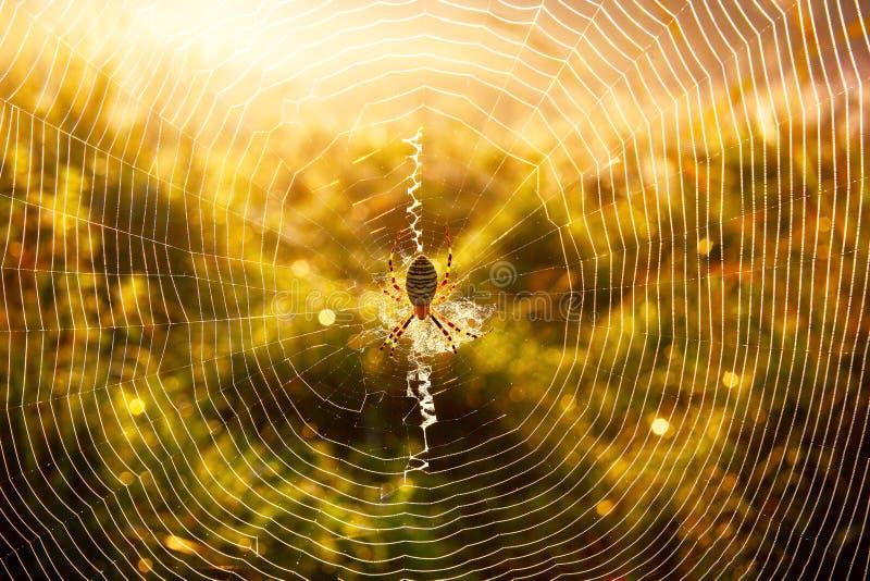 Spindel-Wasp Argiopebruennichi på egen rengöringsduk på höstmorgonen med daggdroppar i högväxt gräs arkivbild
