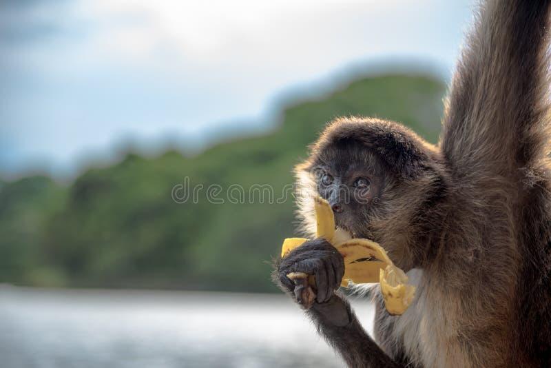 Spindelapa som äter en banan royaltyfri fotografi