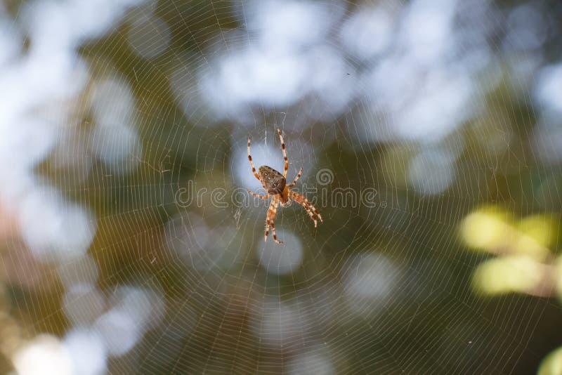SpindelAraneus i mitten av spiderweb arkivbilder