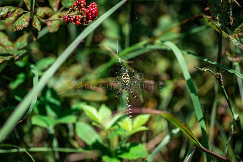 SpindelArgiopebruennichi som sitter på dess rengöringsdukcloseup fotografering för bildbyråer