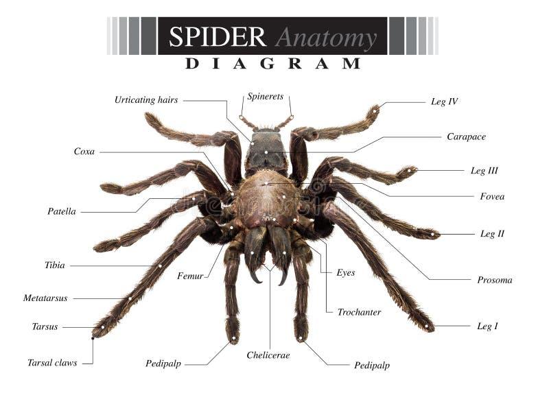 Spindeldiagram royaltyfri bild