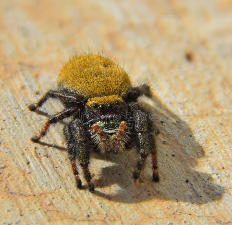 Spindelmakro fotografering för bildbyråer