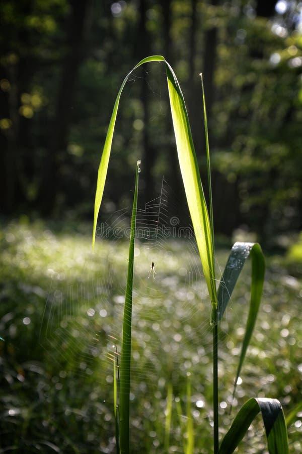 Spindelnät som framme hänger med spindeln på grässtrået av skogen fotografering för bildbyråer