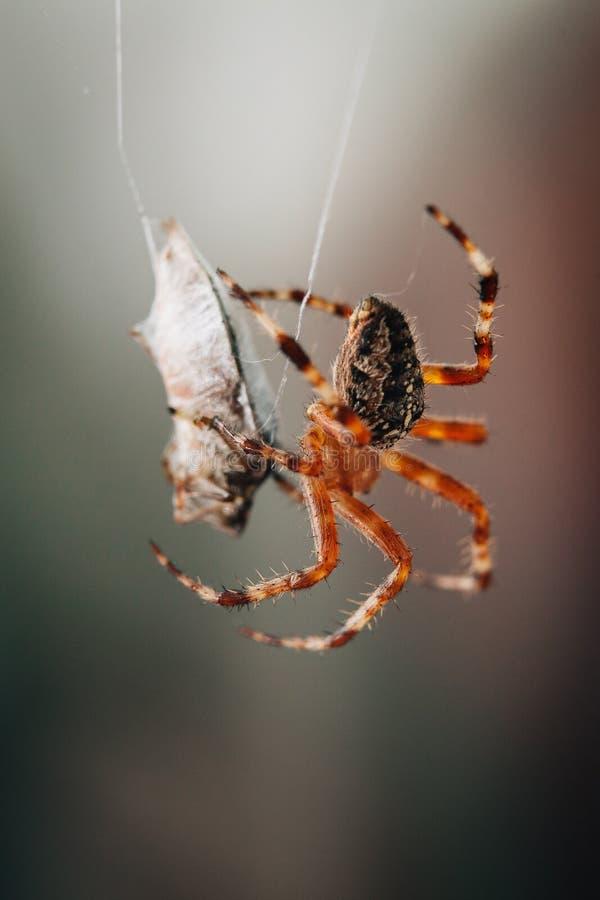Spindeln äter det fångade felet arkivfoton