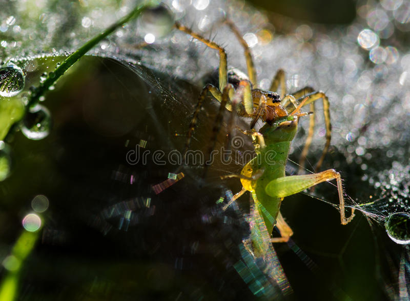 Spindeln äter en syrsa arkivfoton