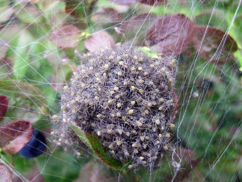 Spindeln förtjänar arkivfoton