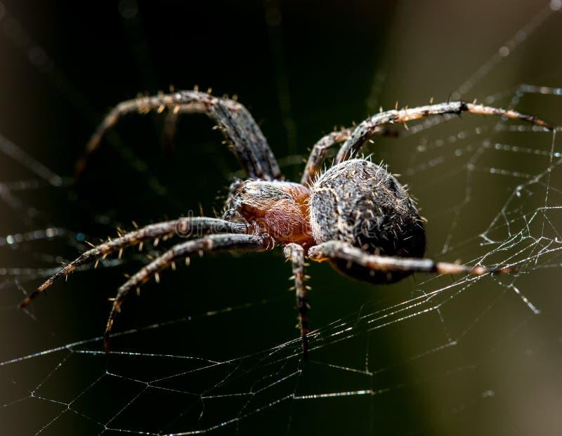Spindeln sitter på en rengöringsduk på jakten arkivbilder