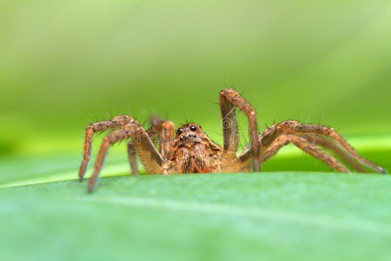 Spindeln som döljer i växter royaltyfri bild