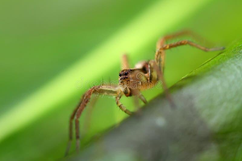 Spindeln som döljer i växter arkivbilder