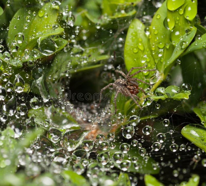 Spindels rede på buxus royaltyfria bilder