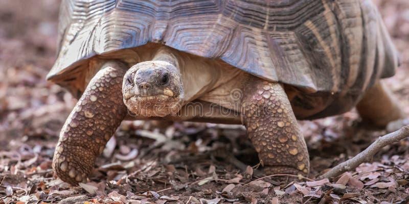 Spindelsköldpadda arkivbild