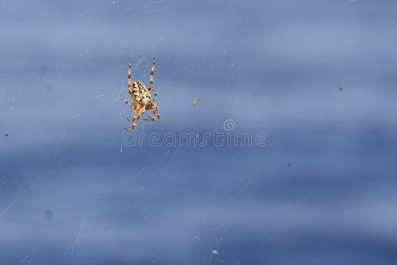 Spindelträdgård-spindel (lat Sitter snälla araneomorphspindlar för araneusen) av familjen av Orb-rengöringsduken spindlar (Aranei royaltyfri foto