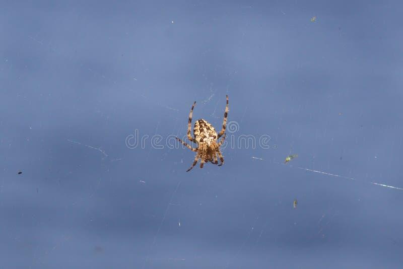 Spindelträdgård-spindel (lat Sitter snälla araneomorphspindlar för araneusen) av familjen av Orb-rengöringsduken spindlar (Aranei royaltyfria foton