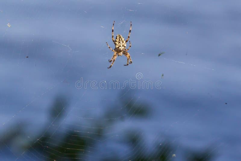 Spindelträdgård-spindel (lat Sitter snälla araneomorphspindlar för araneusen) av familjen av Orb-rengöringsduken spindlar (Aranei royaltyfri fotografi
